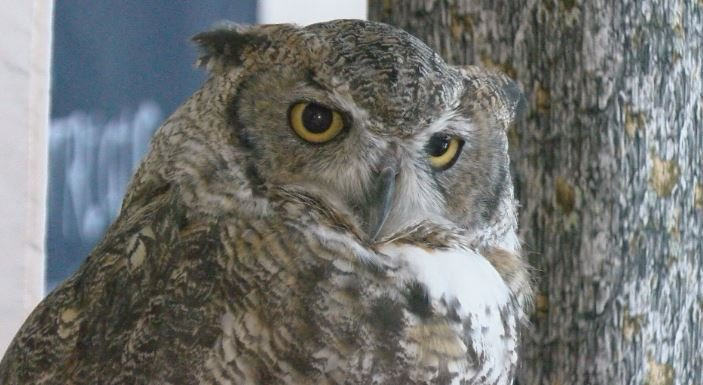 Alice, a 20 year-old great horned owl, has an injured left wing. She's one of five owls you can see at the International Owl Center.