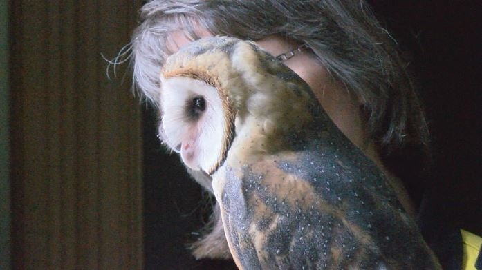 Piper the barn owl looks through a window into the outside world