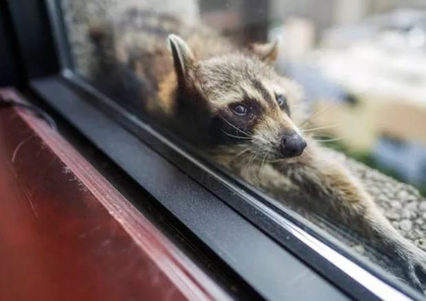 (Evan Frost/Minnesota Public Radio via AP). A raccoon stretches out on a windowsill high above downtown St. Paul, Minn., Tuesday, June 12, 2018.