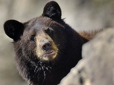 Typical black bear (Photo courtesy Bears of the World)
