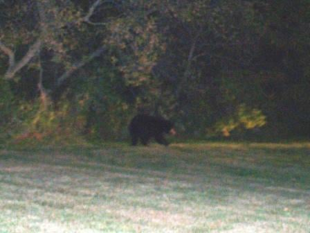 Black bear in Dodge Center (Photo by Sheriff Jim Jensen)
