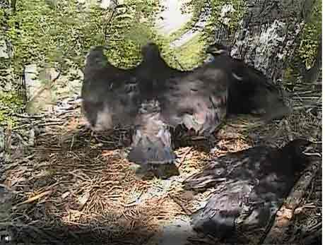 Decorah eagles / 5.23