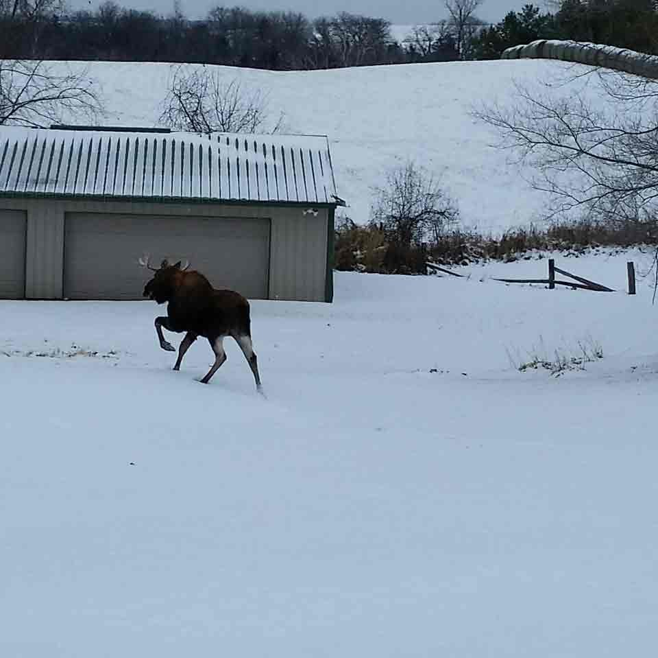 Western Moose spotted in Lanesboro / Photo courtesy of Julie Norby