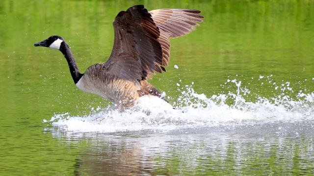 canada goose austin