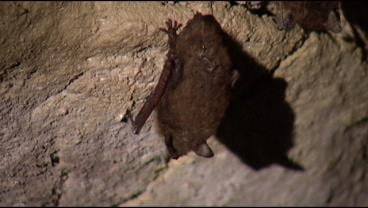white nose syndrome research paper